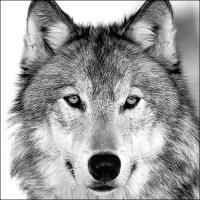 Servietten 33x33 cm - Wolf