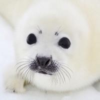 Servietten 33x33 cm - Baby Seal
