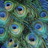 Servietten 33x33 cm - Peacock Feathers