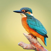 Servietten 33x33 cm - Kingfisher