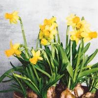 Servietten 25x25 cm - Narcissus