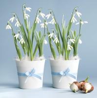 Servietten 33x33 cm - Snowdrops in Flowerpots
