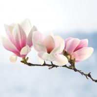 Servietten 33x33 cm - Magnolia Twig Light Blue