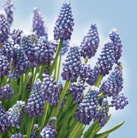 Servietten 33x33 cm - Muscari Bunch