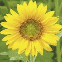 Servietten 33x33 cm - Sunflower