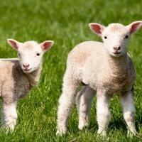 Servietten 33x33 cm - Farm Lamb