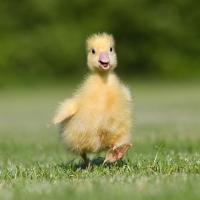 Servietten 25x25 cm - Easter Duck