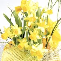 Servietten 25x25 cm - Daffodil blossoms