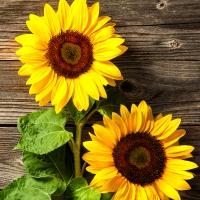 Servietten 33x33 cm - Two Sunflowers