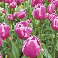 Servietten 33x33 cm - Tulip Garden