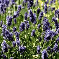 Servietten 33x33 cm - Lavendel field