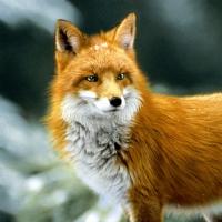 Servietten 33x33 cm - Forest fox