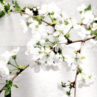 Servietten 33x33 cm - Cherry twig