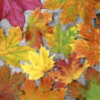 Servietten 33x33 cm - Maple leafs