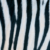 Lunch Servietten Zebra Couture