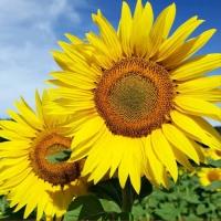20 Servietten 33x33 cm - Sunny Days