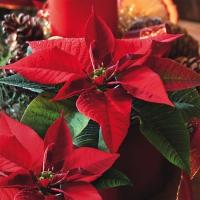 Servietten 33x33 cm - Estrella de Navidad