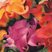 Servietten 33x33 cm - Mehrfarbige Callas