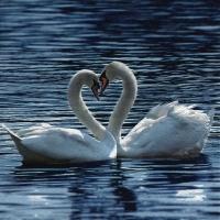Servietten 33x33 cm - White Swans