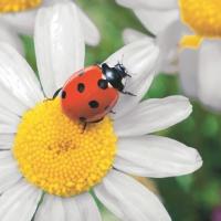 Servietten 33x33 cm - Marienkäfer auf Daisy