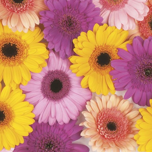 Servietten 33x33 cm - Colourful Gerberas Background