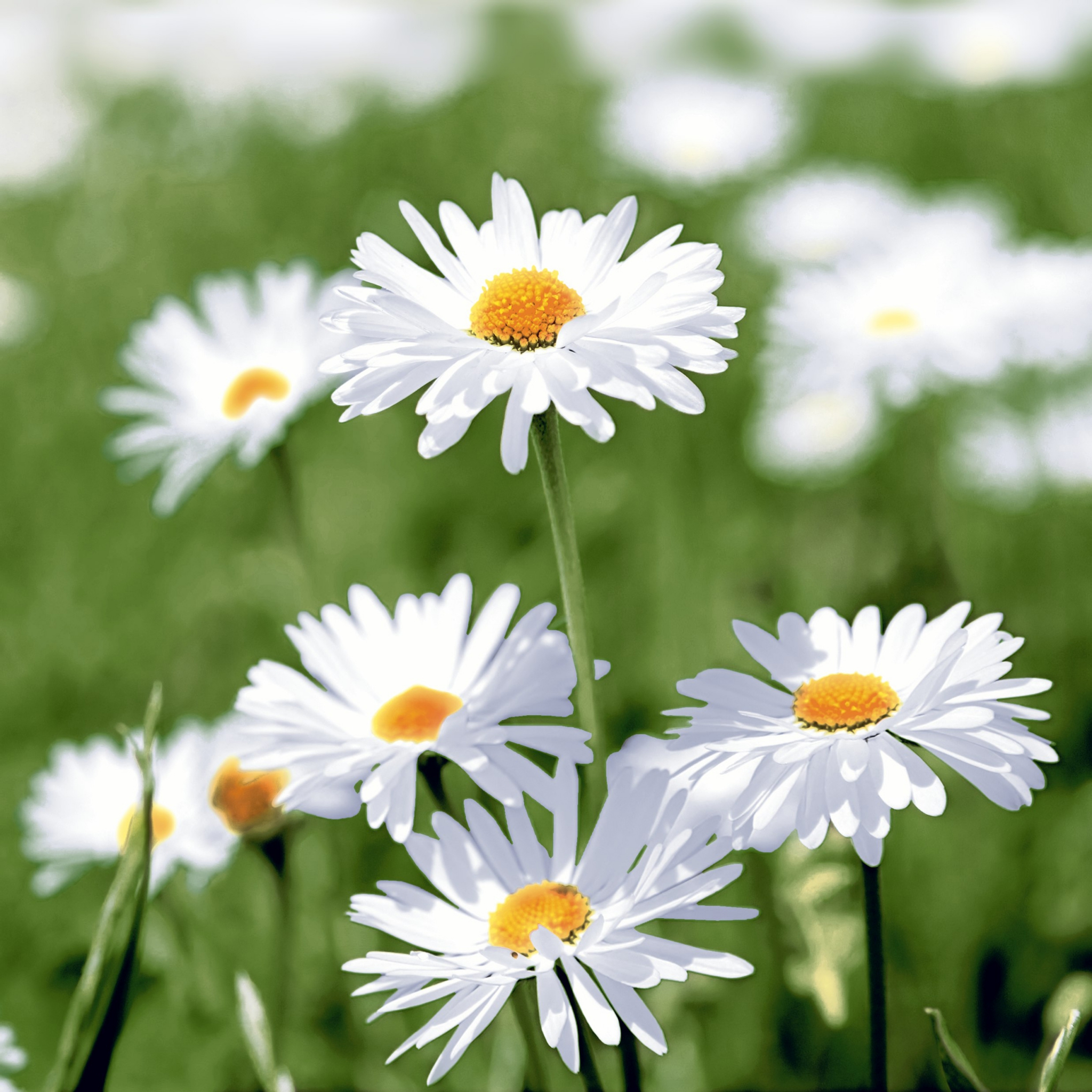 Servietten 25x25 cm - Full of daisies